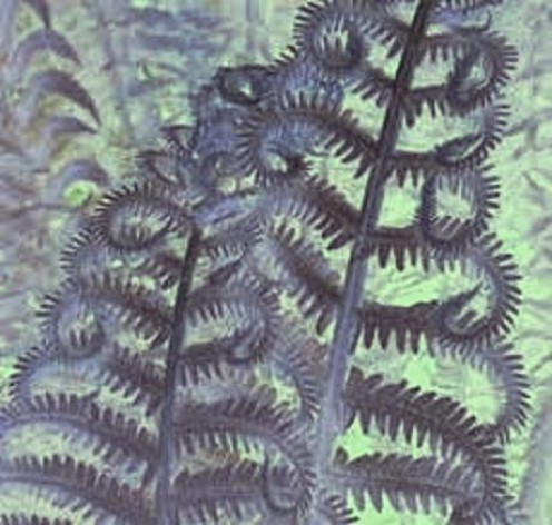 Fern # 004, 005, 008, 009, 019 - Copyright © 2012 - 2013 Pearldiver Images with all rights reserved