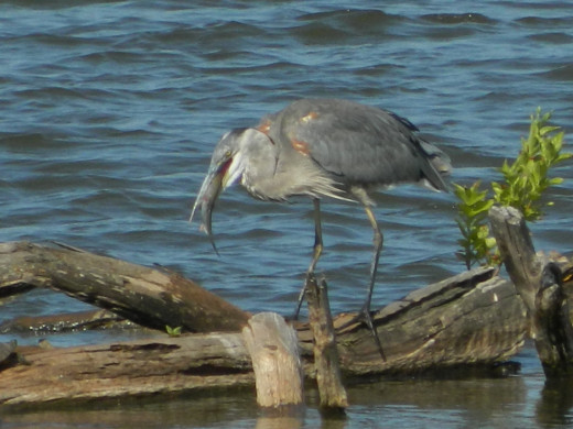 Great Blue Heron eats his fish