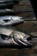 Complete Guide to Mooching for Salmon