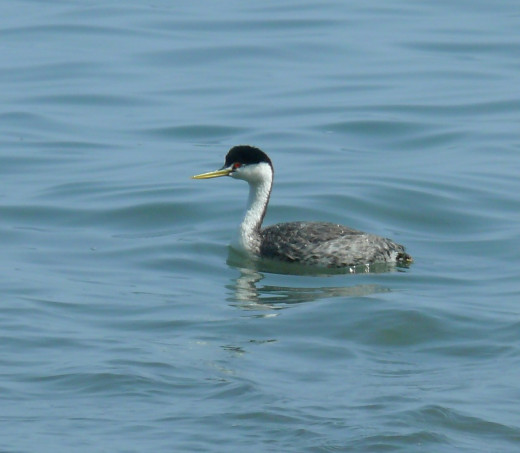 Western Grebe, another bir tick on our list