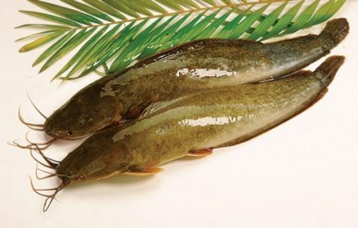 ca tre - cat fish