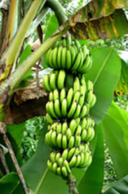 banana and plantain plant