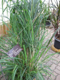 Practical Uses of Citronella Oil