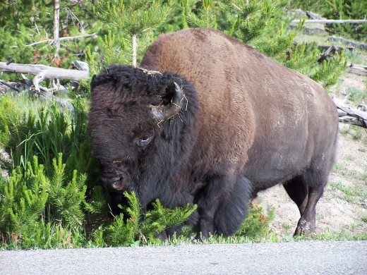 The star of our story:  Mr. Bison