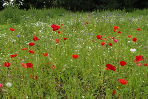 Poppies and oxeye daisies in a wildflower meadow