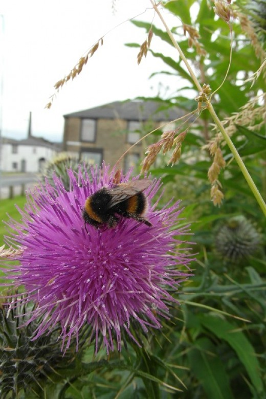 Buff tailed bumblebee on a thistle at Crowther Street, Burnley