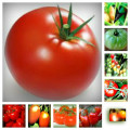 Tomatoes; from the field to the table!