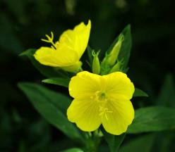 Evening Primrose-Nine O'Clock Bloomers