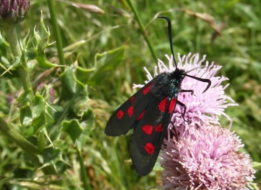 Six spotted burnet moth on thistle