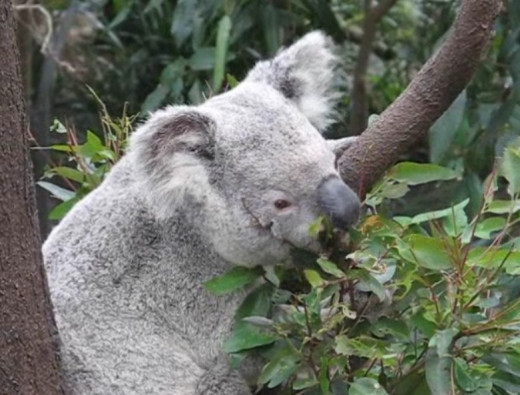 Koala selectively feeding on the tastiest leaves