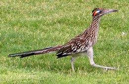 NM State Bird: Roadrunner [3]