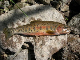 NM State Fish: Cutthroat Trout [3]