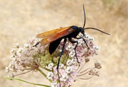 NM State Insect: Tarantula Hawk Wasp [3]
