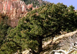 NM State Tree: Pinon [3]