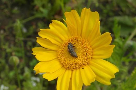 Ladybird larva on marigold