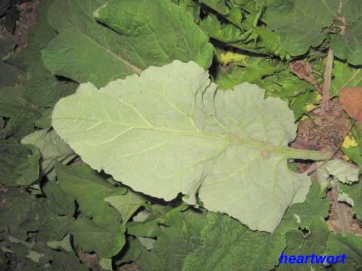 Burdock+Leaf+Recipes The underside of a large first year burdock leaf.