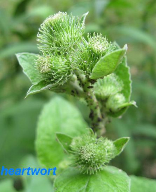 At the end of the second year burdock develop buds that develop thistle-like purple flowers before turning into burs.