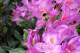 Garden bumblebee on rhododendron