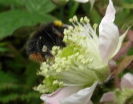 Early bumblebee on bramble