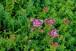 Thymus serpyllum, creeping thyme, is a decorative herb often used in rock gardens and as a weed-suppressing ground cover.