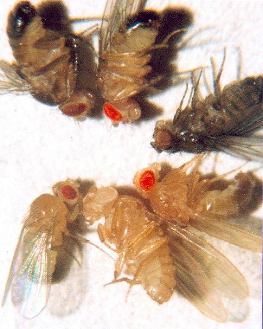 Eye colour mutants, the flies at the bottom are the white mutant discovered by Morgan in 1910, and a wild type.