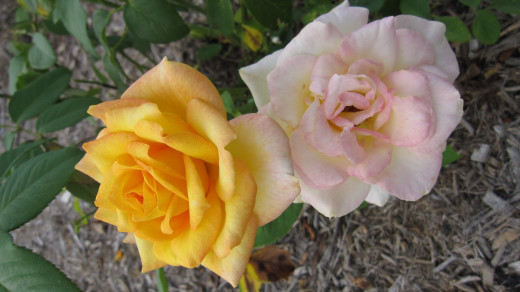 Roommate making you feel down? Here's some lovely roses to help brighten up your day.