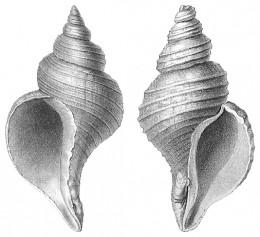Neptunea angulata & N despecta