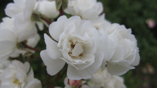 Rosa 'Wirruna White Fairy'