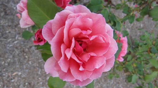 Rosa 'Duet'