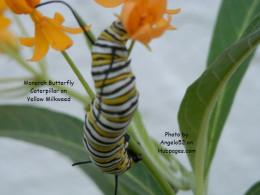 Growing fat on yellow millkweed flowers.