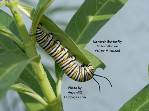 Eating milkweed leaf.