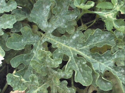 Powdery mildew on pumpkin. Cucurbits like pumpkin, squash & cucumber are particularly susceptible to mildew in gardens.