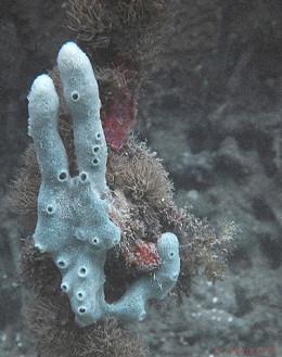 Poriferans