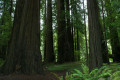 The Tallest Trees on Earth- Redwoods