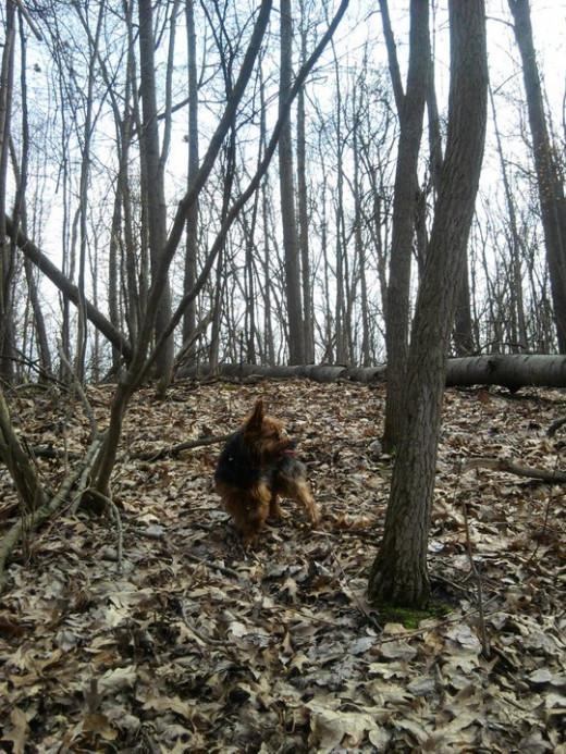 Pookie, my Yorkshire Terrier