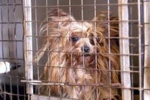 A Sad malnourished puppy mill resident