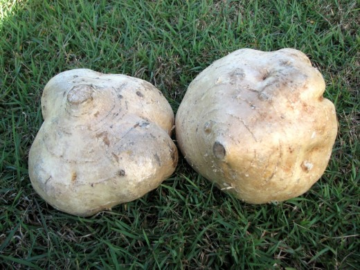 Two Large Jicama / Yam Bean Roots.