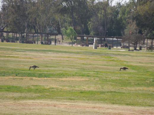 Geese at Lake Cunningham Park