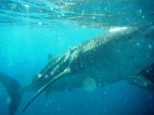 Whale Shark in Action...Cebu, Philippines. (Pictures courtesy of Mr. Lyle B. Vasquez)
