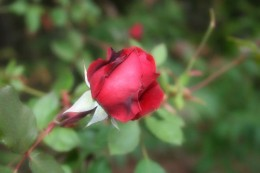 Roses benefit from additional nutrients.