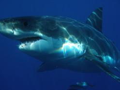 How can I get a pet shark?
