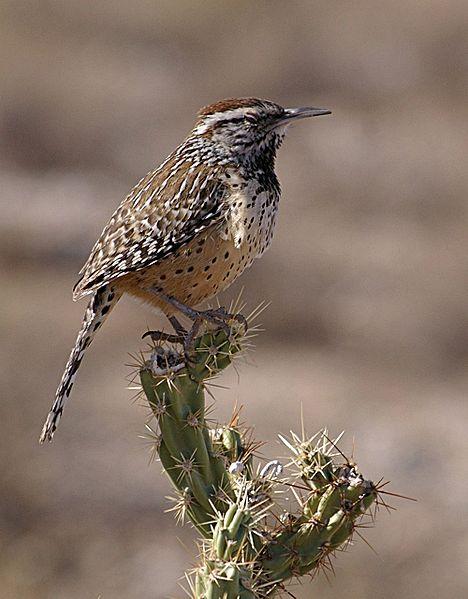 AZ State Bird: Cactus Wren [5]