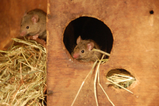 Happy house mice. Do these guys look Fancy to you?