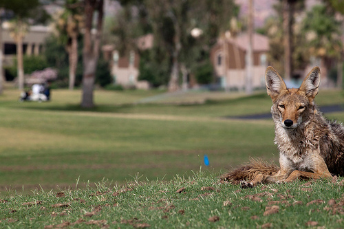 Coyote on a golf course. Maybe he thinks one of his names is Fido?