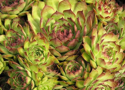 Close-up Of Sempervivum - Hens And Chicks