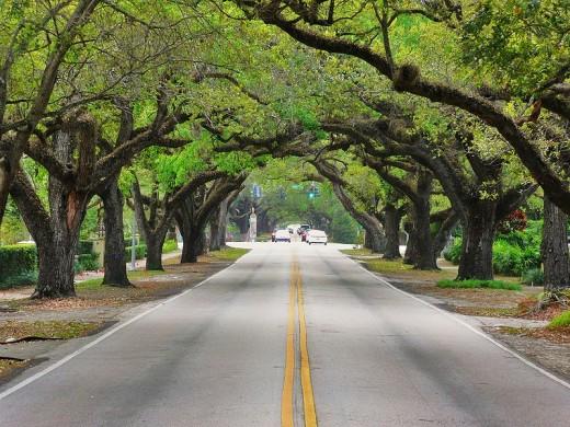 Lush green trees, Coral Way, Coral Gables, FL