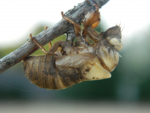 Insect Shell