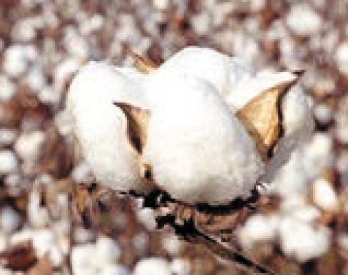 Organic cotton is cultivated without chemical pesticides.
