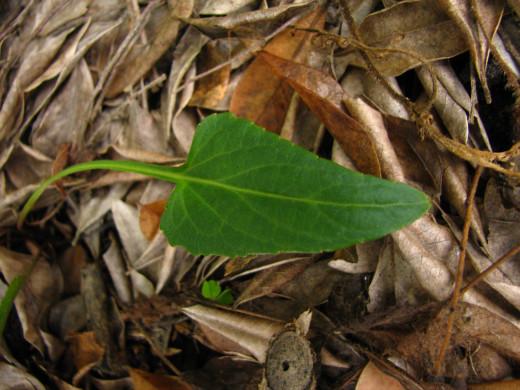 Viola betonicifolia Arrow-Shaped Leaf
