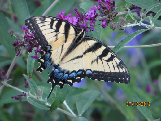 An Eastern Tiger Swallowtail on a lilac.  The Eastern Tiger is found all over the U.S. and Canada.